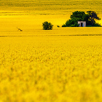 Amazing rapeseed field