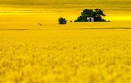 Small green place in the field of rapeseed
