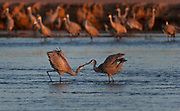 Nebraska_2015.-The annual Sandhill Crane migration through Nebraska with a stop on the Platte River.