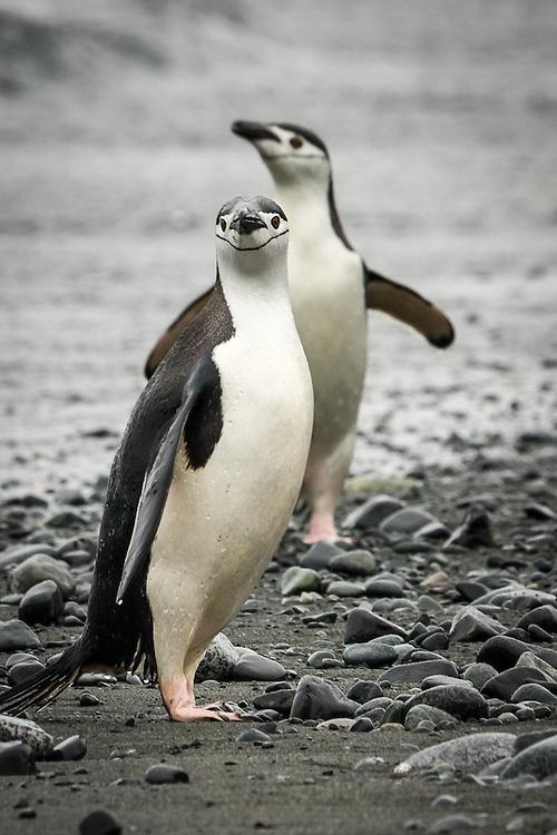 Pygoscelis antarcticus, Antarctica