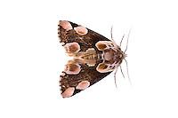 Thyatria batisIFTE-NB-007534; Niall Benvie; Thyatria batis; peach blossom moth; Europe; Austria; Tirol; Fliesser Sonnenhänge; insect invertebrate arthropod; horizontal; high key; brown white; controlled; adult; one; upland grassland meadow woodland edge; 2008; July; summer; night; strobe backlight; Wild Wonders of Europe Naturpark Kaunergrat