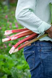 Harvesting rhubarb