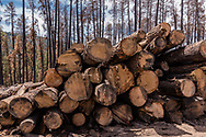 Pile of logs salvaged from the Cajete Fire burn about 10 months after the fire that burned in June and July 2017. Fire-killed trees are still standing in the background. © 2018 David A. Ponton