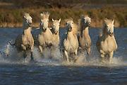 White horses of Camargue France running free  through marshy areas and  splashing water.