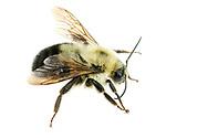 Two-spotted Bumblebee (Bombus bimaculatus)<br /> United States: Alabama: Tuscaloosa Co.<br /> Tulip Tree Springs off Echola Rd.; Elrod<br /> 28-Jun-2016<br /> J.C. Abbott #2840 &amp; K.K. Abbott
