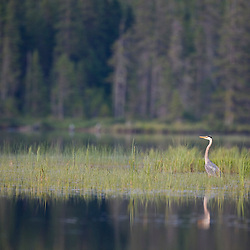 A great blue heron, Ardea herodias, on East Inlet in Pittsburg, New Hampshire.