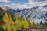 Larches in autumn color, Maple Pass North Cascades Washington