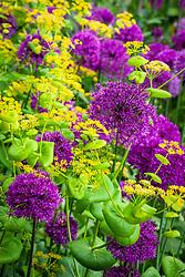Allium hollandicum 'Purple Sensation' growing through Smyrnium perfoliatum