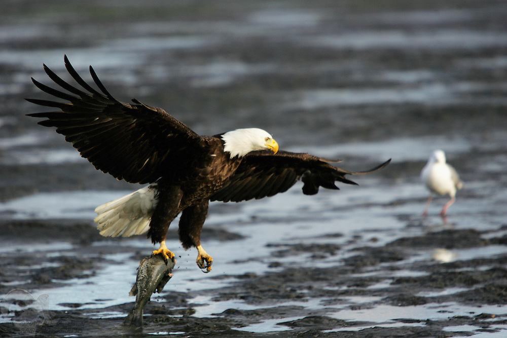 An eagle swoops in on a fish laying on the mud near the Copper River flats on Alaska's north gulf coast.