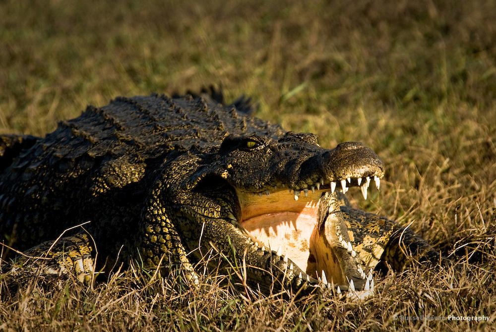 A Nile Crocodile resting on a riverbank in Chobe National Park, Botswana