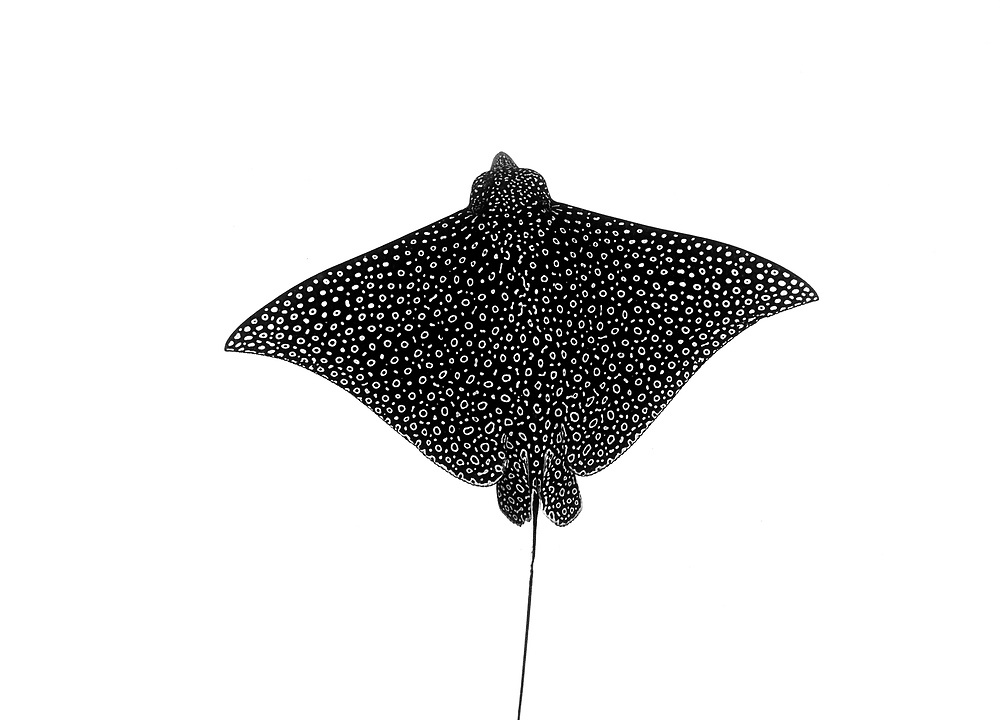 The shape and pattern of a spotted eagle ray from above. Perfect for a fine art print.