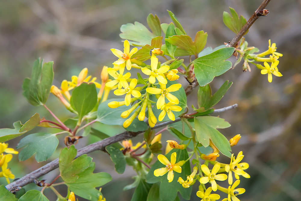 Golden currents grow in profusion along Cowiche Creek just outside of Yakima, WA. These beautiful flowers when pollinated will produce delicious, edible red currants that are important historically and locally as a food source for people and wildlife.