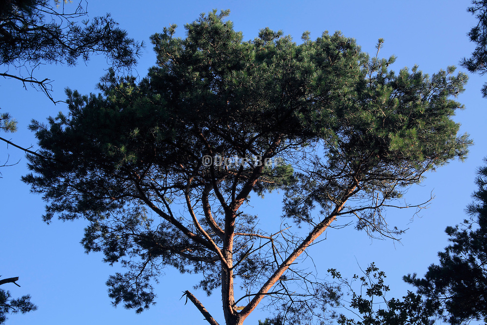 crown of a large pine tree