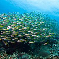 Bigeye Snapper, Lutjanus lutjanes, swimming over reef, Tenggol Island, Tanjong Jara Resort, Terengganu, Malaysia.