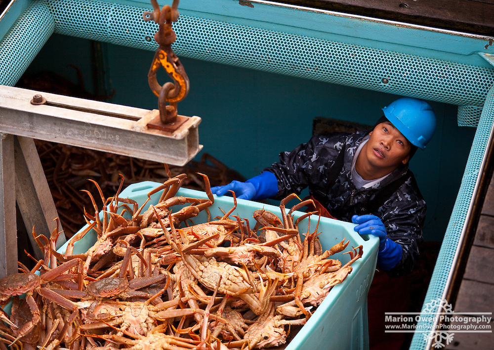 Cannery worker loads tote with Tanner Crab from inside fishing vessel's hold, Kodiak, Alaska.
