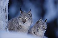 Eurasian Lynx, Lynx lynx, captive, Lycksele, Sweden