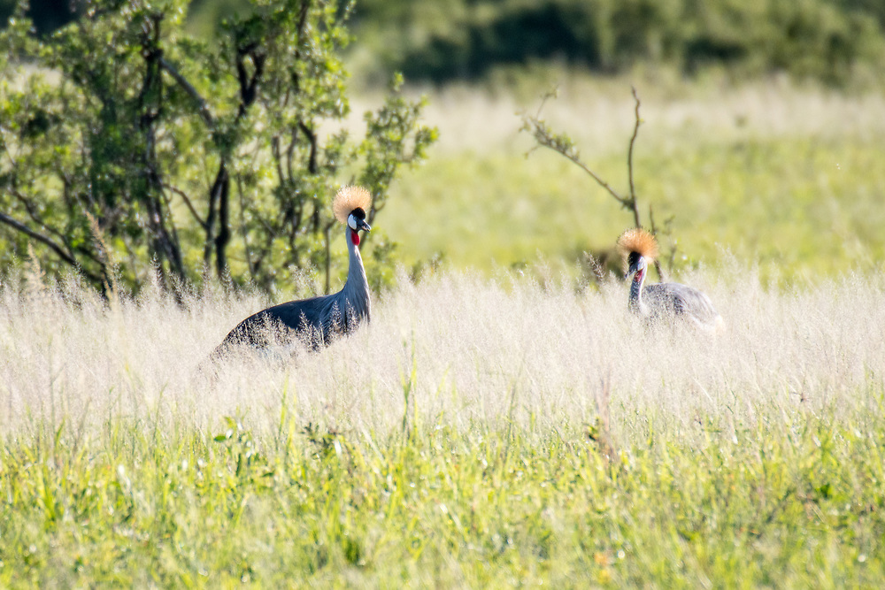 A pair of Grey Crowned cranes move through the grasslands of the savanna in Hwange National Park. Hwange, Zimbabwe