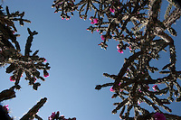 Tree Cholla, (Cylindropuntia imbricata var. arborescens), Gaines County, Texas