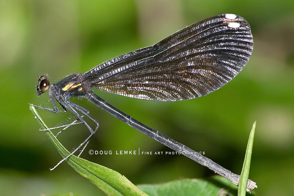 Damselfly, Ebony Jewelwing, Calopteryx maculata, Damselfly