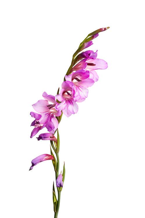 Wild gladiolus, Gladiolus, Andalucia, Spain