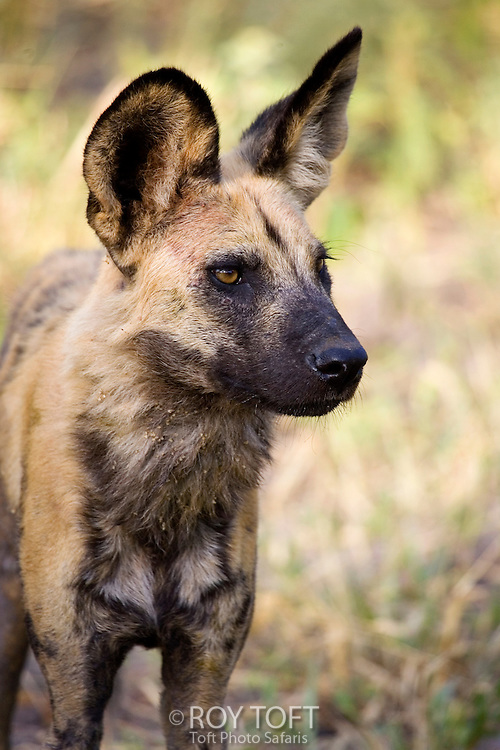 Close-up view of an African wild hunting dog, Botswana