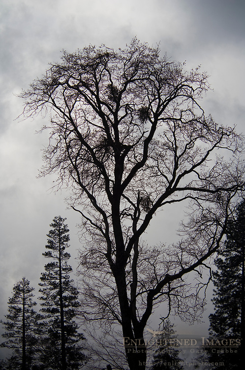 Oak tree and storm clouds in Yosemite Valley, Yosemite National Park, California
