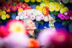 © Licensed to London News Pictures. 14/09/2017. Harrogate UK. Maxine Hall put's the finishing touches to her Dahlia flower exhibition on staging day for the Autumn Harrogate Flower show that starts tomorrow at the Great Yorkshire show ground. Photo credit: Andrew McCaren/LNP