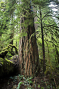 A large old growth douglas-fir tree (Pseudotsuga menziesii) in the Mount Hood National Forest, Oregon.