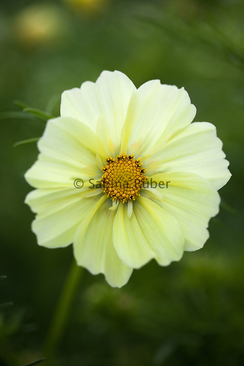 Cosmos bipinnatus 'Xanthos' - garden cosmos