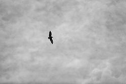 Sea eagle  in Kolgrafarfjordur Snaefellsnes, Iceland - Haförn á flugi í Kolgrafarfirði