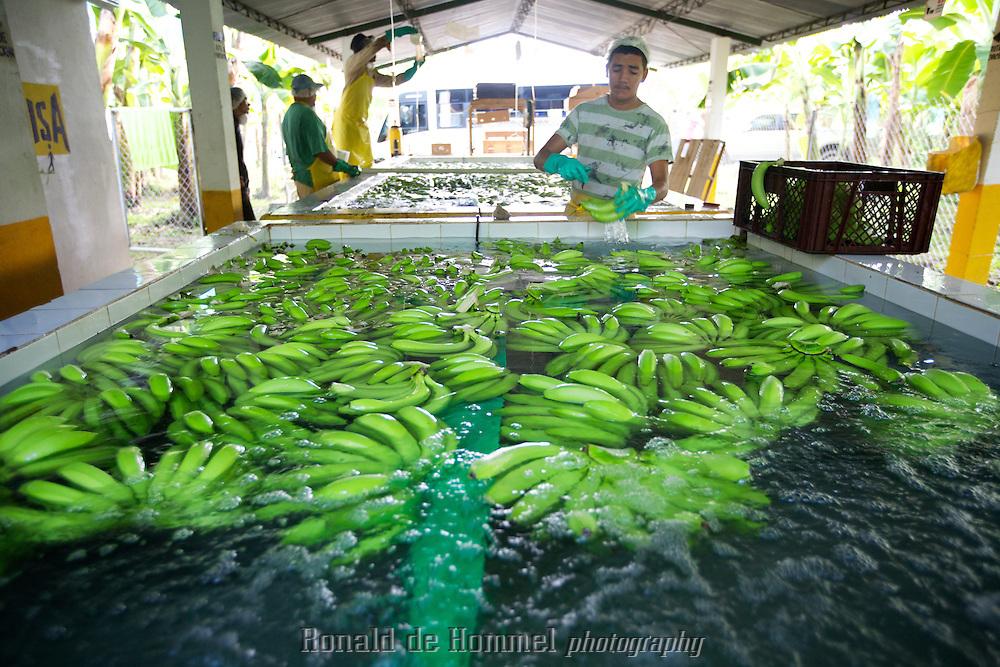 Workers are washing bananas in a fair trade banana plantation in the north of Colombia. The bananas are sold in the Netherlands by Plus Supermarkets. ..Orihueca, Magdalena, Colombia.  Staatssecretaris van ontwikkelingszaken Ben Knapen bezoekt de Fair Trade Bananen plantage FISA in Colombia. De plantage in het noorden van het land vlak bij de Caribische kust is een goed voorbeeld van het nieuwe Nederlandse ontwikkelingsbeleid waarbij het ministerie van  Ontwikkelingssamenwerking het locale bedrijfsleven stimuleert op een maatschappelijk verantwoorde manier duurzaam te ondernemen. De bananen worden in Nederland door de Plus Markt verkocht.