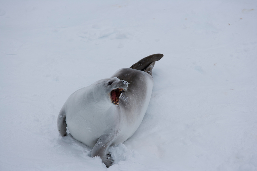 February 24th 2007. Ross Sea. Southern Ocean. A Crabeater Seal (Lobodon carcinophaga) moves atop pack ice in the Ross Sea.
