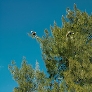 Birds in trees on Sanibel beach, Sanibel Island, Florida. March 2008.