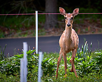 Young doe wondering why I am looking at her. Backyard spring nature in New Jersey. Image taken with a Fuji X-T2 camera and 100-400 mm OIS lens (ISO 200, 400 mm, f/6.4, 1/35 sec).