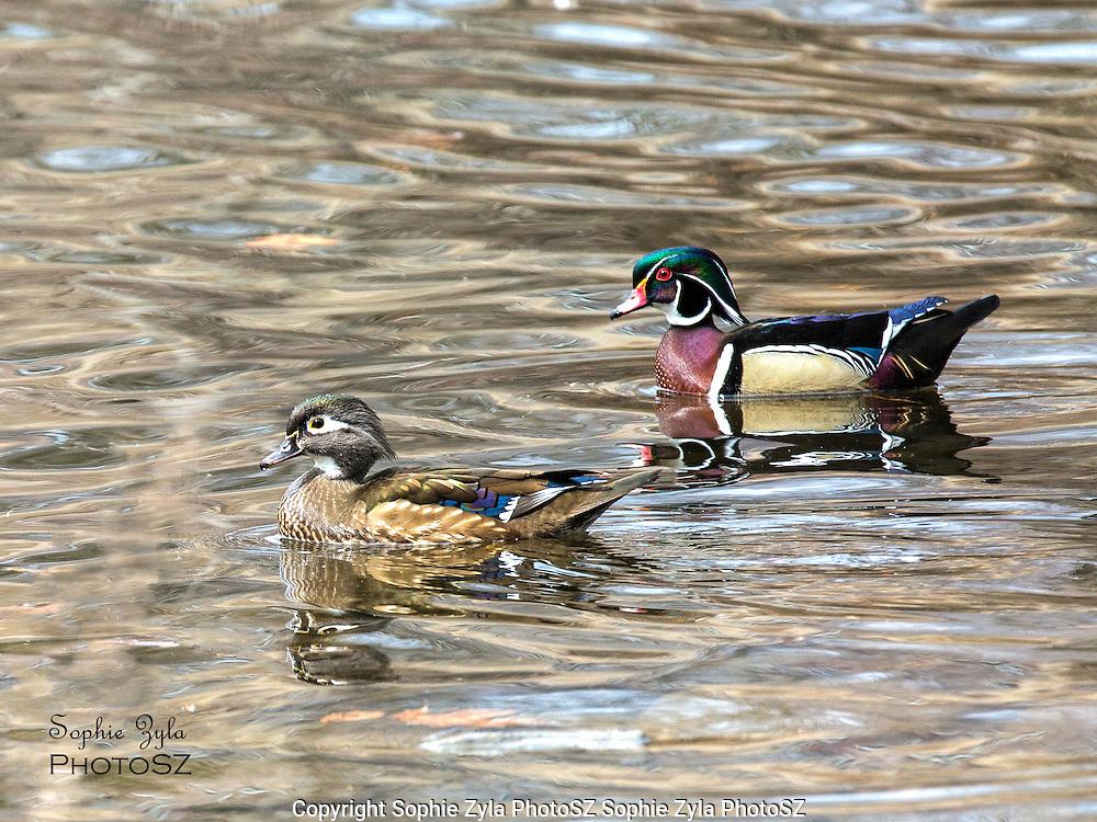 Wood Duck pair in Spring