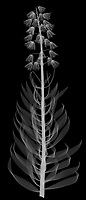 X-ray image of a Persian fritillary in bloom (Fritillaria persica, white on black) by Jim Wehtje, specialist in x-ray art and design images.