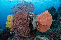 Barramundis seek refuge amongst colorful sea fans.<br /> <br /> <br /> Shot in Indonesia