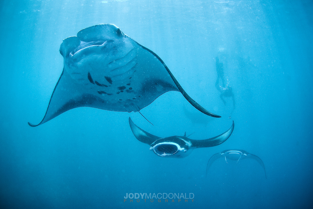 School of large manta rays come to the surface to feed near a diver in Pohnpei, Micronesia.  This daily event happens at the change of the tide.  Manta rays, sharks, and thousands of bait fish erupt into action, swirling and circling in a frenzy.