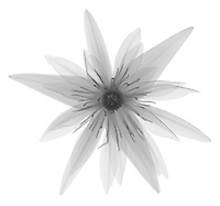 X-ray image of an 'Electra' waterlily blossom (Nymphaea 'Electra', black on white) by Jim Wehtje, specialist in x-ray art and design images.