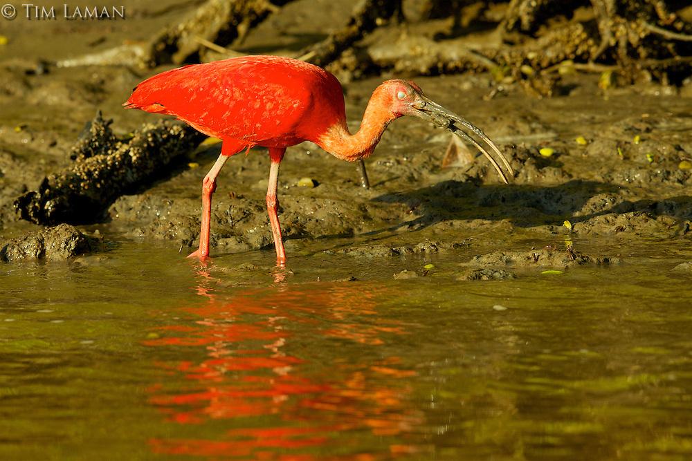 A single Scarlet Ibis (Eudocimus ruber) feeding in the muddy water's edge of the Orinoco River Delta, Venezuela.