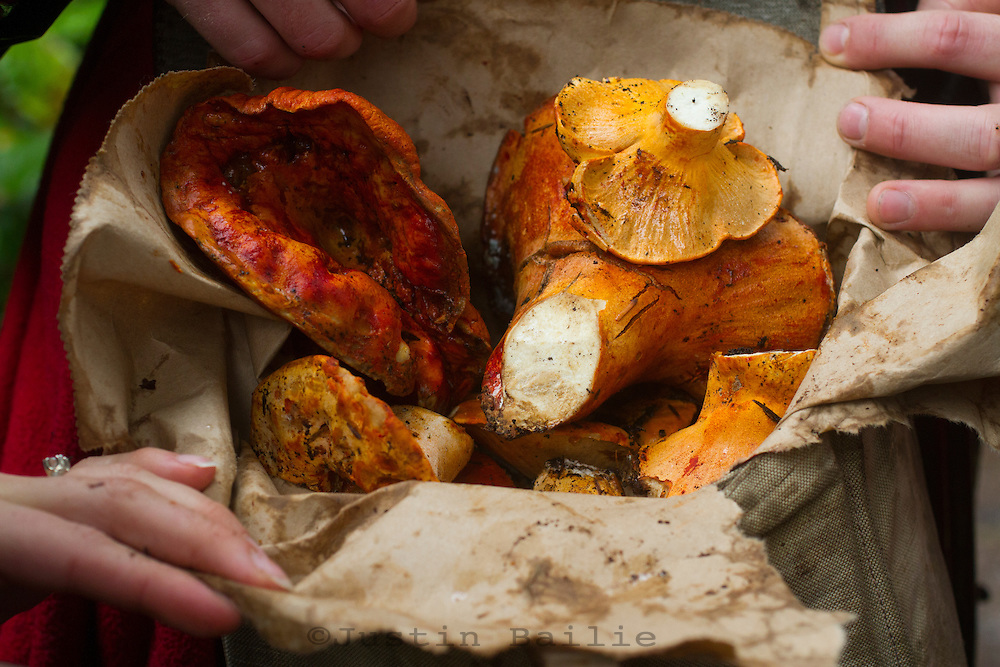 Bag of Lobster Mushroom found in the forest along the Oregon Coast.