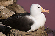 Black-browed Albatross (Thalassarche melanophrys)<br /> Steeple Jason Island. FALKLAND ISLANDS.<br /> Nesting next to a pink pond.<br /> They return to the same nest annually. The nest is a a solid pillar up to 50cm high of mud and guano with some grass and seaweed incorporated. A single egg is laid in October and juveniles fledge between mid March and April. They have a circumpolar range betweeen 65 S and 20 south and breed on Subantarctic Islands, Including South Georgia and islands off southern South America. In the Falklands they are also found on Beauchene, Saunders, West Point and New Island.<br /> The Jasons (Grand, Elephant and Steeple) are a chain of islands 40 miles (64km) north and west off West Falkland towards Patagonia. Steeple is 6 by 1 mile (10Km by 1.6km) in size. From the coast the land rises steeply to a rocky ridge running along the length. <br /> THIS ISLAND HAS THE LARGEST BLACK-BROWED COLONY IN THE WORLD WITH 100,000+ PAIRS. The island is owned by WCS (Wildlife Conservation Society) Falklands Conservation have an ongoing research project with the Albatross on Steeple Jason.<br /> LISTED AS ENDANGERED