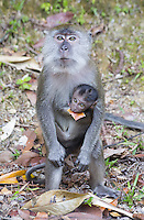 Adult female Long-tailed Macaque with infant, Malaysia