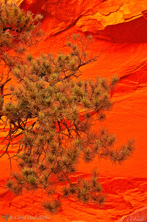The afternoon light reflected off a red sandstone cliff glows behind a lone pinyon pine bough(Pinus edulis) .