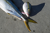 Yellowtail catch at the harbour, Struisbaai Harbour, Struisbaai, Western Cape, South Africa