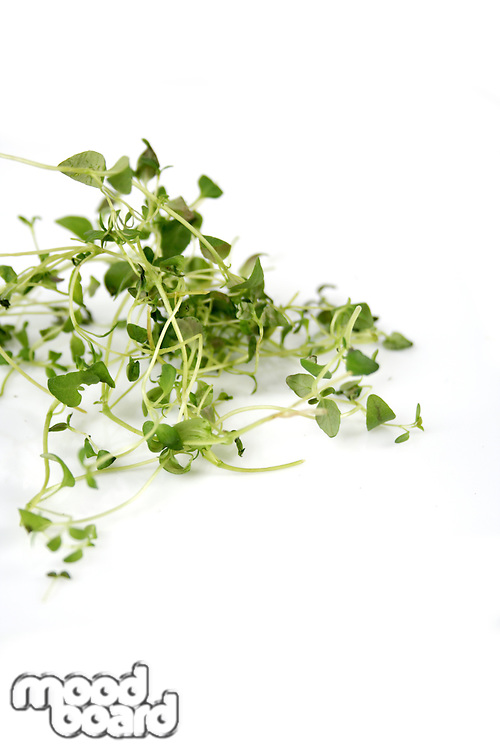 Close up of fresh thyme