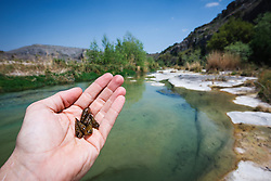Invasive Chinese snails on Dolan Creek, Dolan Falls Preserve, Devils River, Texas