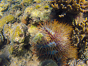Crown of Thorns, Starfish, Rainbow Reef, Vanua Levu, Fiji