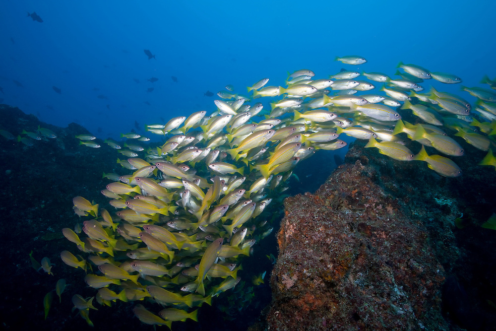 Africa, Mozambique, Guinjata Bay, Jangamo Beach, Underwater view of schools of tropical fish at Manta Reef