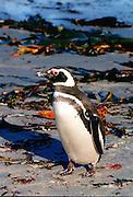 Magellanic penguin, Sea Lion Island, Falkland Islands